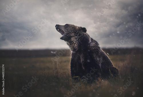 Brown bear in a field in cloudy weather Fototapet