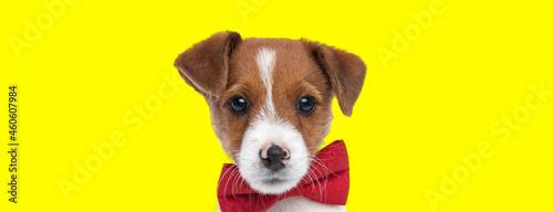 Fotografia beautiful jack russell terrier dog wearing a red bowtie