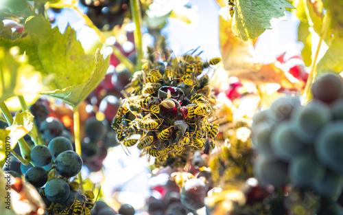 Obraz na plátně European hornet or wasp in between the grapes
