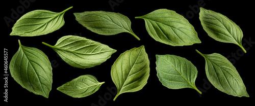 Canvas Print Basil leaves isolated on black background