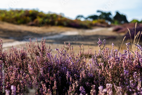 Canvas Close up of vibrant purple heather in full bloom on Suffolk heathland which is a