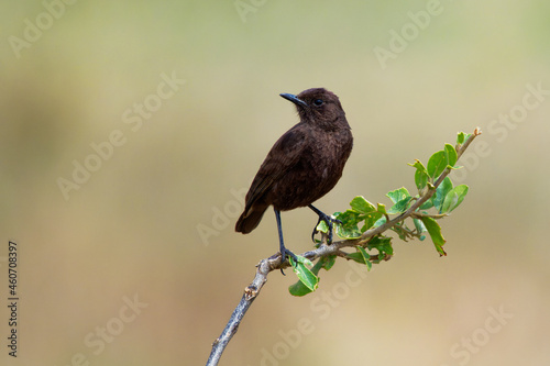 Fotografie, Obraz Northern Anteater-chat - Myrmecocichla aethiops dark bird in Muscicapidae on the