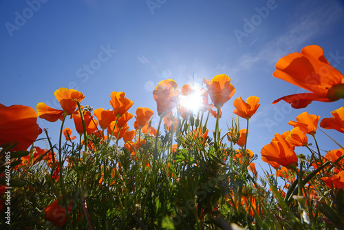 Fototapeta california poppy