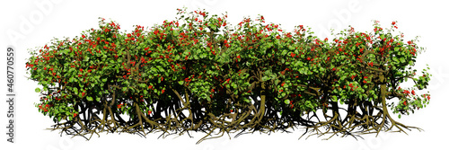 Canvastavla berry hedge with roots, bushes with red fruits isolated on white background
