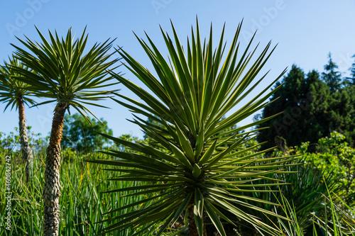 Green Foliage of Aloe Yucca Bordered (Yucca Aloifolia Marginata) or Spanish bayonet dagger Fotobehang