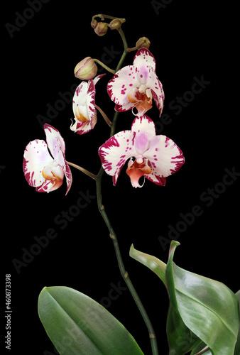 Fotografie, Obraz Phalaenopsis orchid with stem, leaves