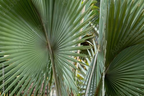Obraz na plátně detalhe da folha de palmeira de bismarck ou bismarckia nobilis