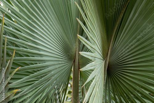 detalhe da folha de palmeira de bismarck ou bismarckia nobilis Poster Mural XXL