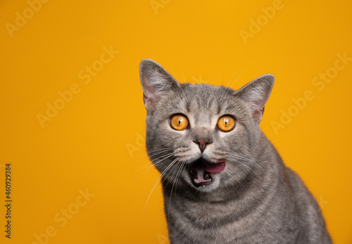 Obraz na plátne cute british shorthair cat making funny face licking lips looking hungry and gre