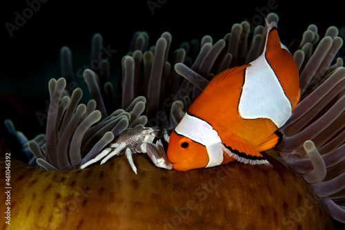 Wallpaper Mural False Clown Anemonfish (Western Clownfish) - Amphiprion ocellaris and a porcelain crab living in an anemone