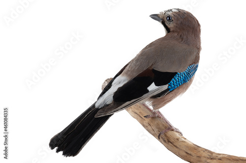 Canvas Print bird jay sits on a tree branch on a white background