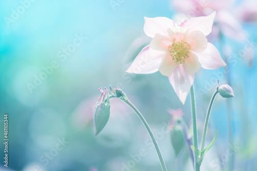 Foto Aquilegia flower pink against a blue background