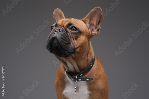 Foto Headshot of brown furred french bulldog against gray background