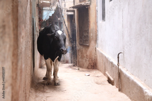 A black cow walking on the alley, India. Fototapet