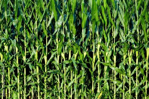 Fotografija Green corn stalks background