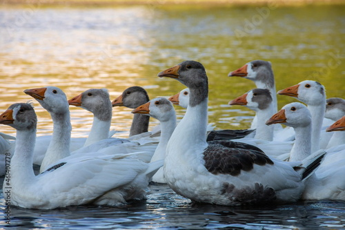 Fotografie, Obraz Farm life. A flock of white and gray geese swims in a blue pond