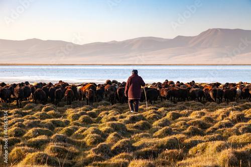 Fotografie, Obraz La bergère et son troupeau de moutons