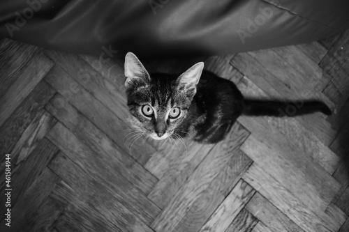 Młody kot - czarno białe zdjęcie #461584944