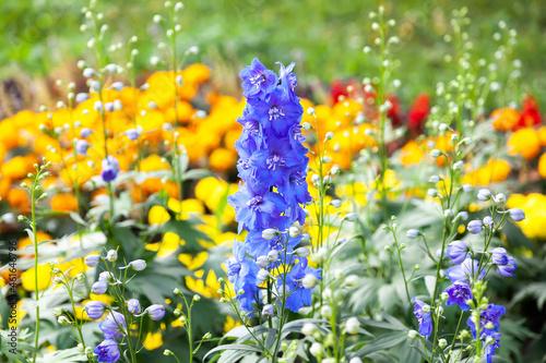 Photo Blue delphinium flowers