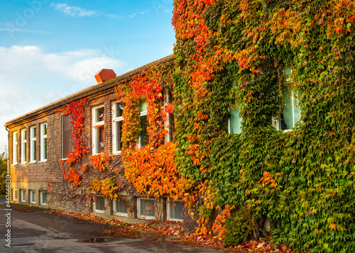 Billede på lærred Autumn ivy on school building in Sweden