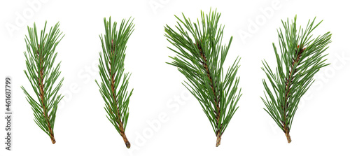 Canvas a set of spruce branches in isolation on a white background