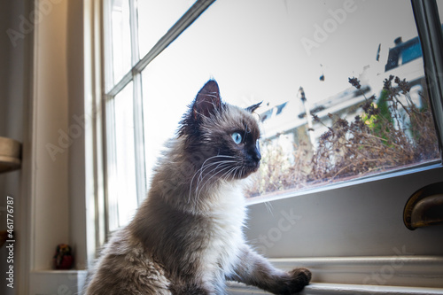 """Foto """"Sacred cat of Burma"""" curiously looking out of the window"""