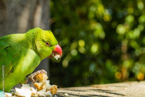 Photo Kramer's Parakeet (Psittacula krameri), green with reddish beak on the wall eating bread