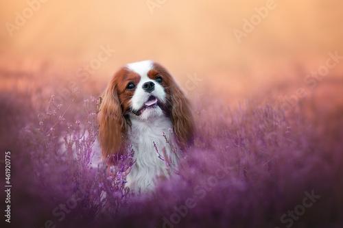 Obraz na plátně Blenheim color Cavalier King Charles Spaniel dog, adult