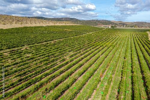 Fototapeta Field of grape vines Campo de Borja. It is a wine from Spain