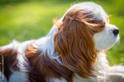 Obraz na plátně A Cavalier King Charles Spaniel dog outdoor