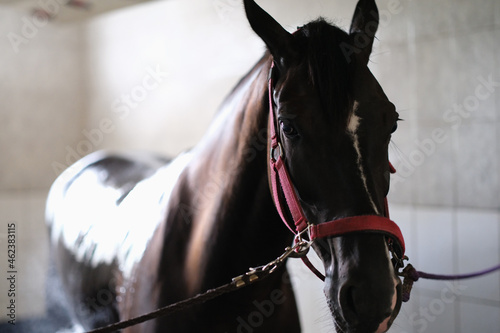 Tablou Canvas Thoroughbred horse on bridle standing in stable