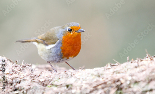 Fotografie, Obraz Closeup of a robin redbreast on a blurred background