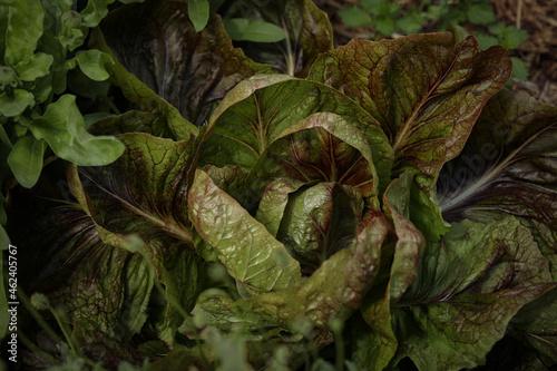 Fotografie, Tablou Home Grown Organic Radicchio or Red Chicory 'Firestorm' (Cichorium intybus)