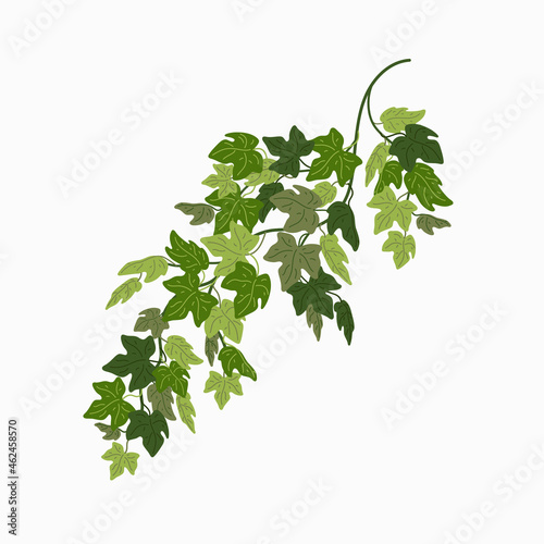 Tela Ivy vine, green leaves of a creeper plant isolated on white background