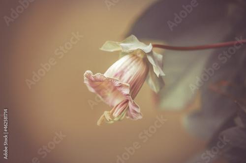 Fotografie, Obraz Autumn scenery: Fine art close-up of a rosy bell flower