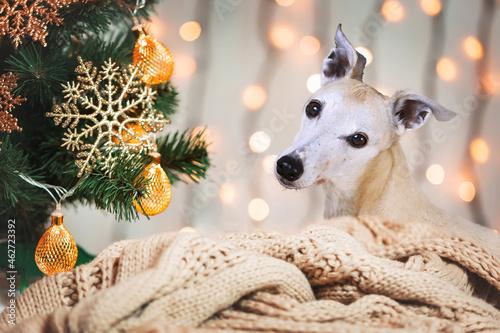 Valokuva Weihnachten - Whippet neben geschmücktem Christbaum