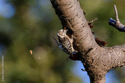 Murais de parede 木に穴を開けるコゲラ