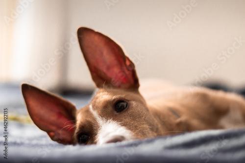 Fototapeta Imagen de perro raza podenco marrón echado con las orejas levantadas