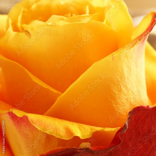 Piękna pomarańczowa róża w słońcu