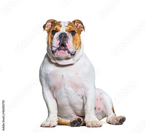 English bulldogs sitting , looking at camera, isolated Fotobehang