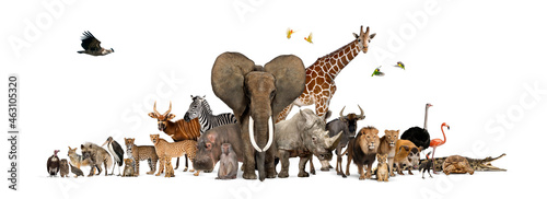 Fotografering Large group of African fauna, safari wildlife animals together, in a row, isolat