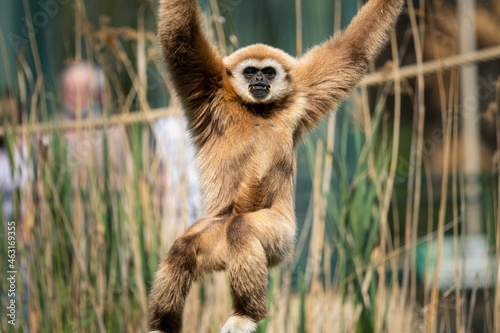 Photo A lar gibbon climbing in a zoo