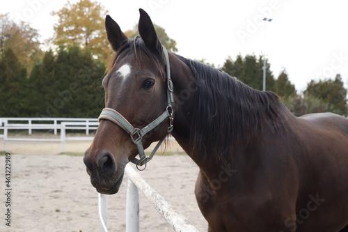 Koń kasztanowy portret #463222989