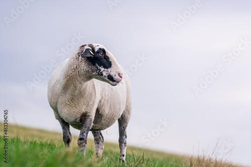 Wallpaper Mural Black white sheep on a hillside meadow