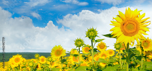 Spring landscape, field of beautiful golden sunflowers, blue sky and white clouds. Wide photo.