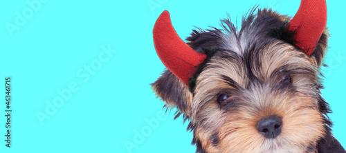 Fotografie, Tablou sweet yorkshire terrier dog wearing devil horns