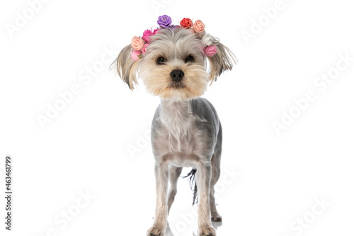 Canvastavla yorkshire terrier dog wearing a headband with flowers