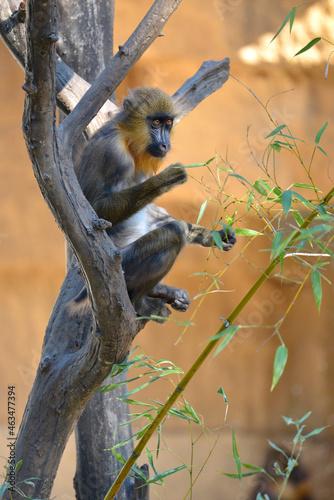 Tela Young mandrill (Mandrillus sphinx) sitting in a tree