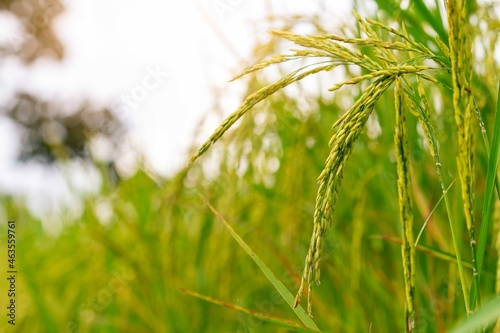Fotografie, Obraz Selective focus on ear of rice