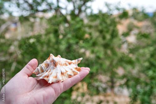 Fotografiet Lambis truncata (giant spider conch), sea snail, a marine gastropod mollusk